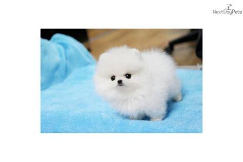 buy white teacup pomeranian pomeranian puppy for sale near richmond virginia 40f7af38 fc81