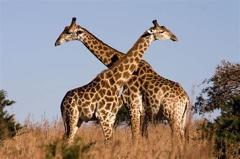 google images giraffe http 3 bp blogspot com annzujgeykq uic71a2kldi