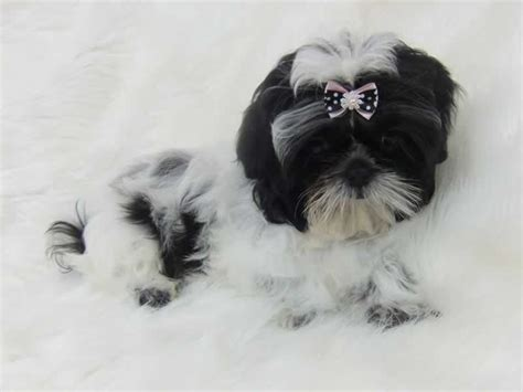 shih tzu bow shih tzu bows uk 1001doggy