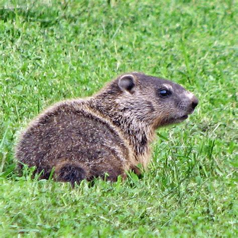 how to get rid of a groundhog in my backyard how to get rid of groundhogs how to get rid of stuff