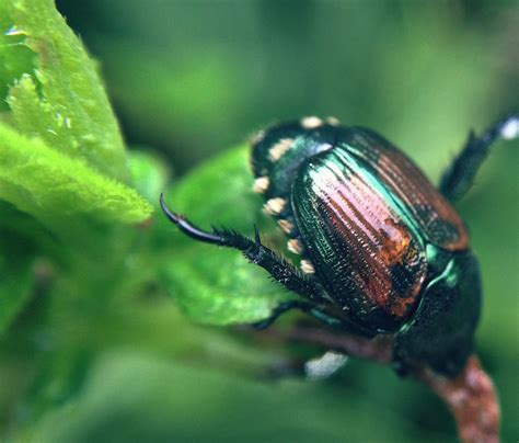 asian beetles and dogs controlling japanese beetles in the garden