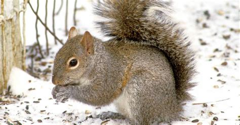 kentucky native plant and wildlife why do squirrels strip