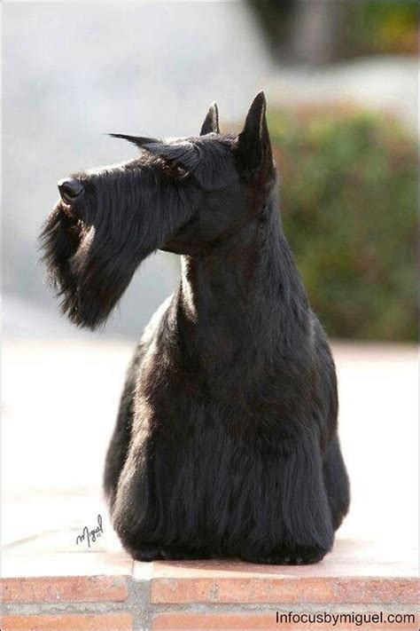 how to cut a scottish terriers hair hairstyle gallery 51 best images about terrier grooming hairstyles on
