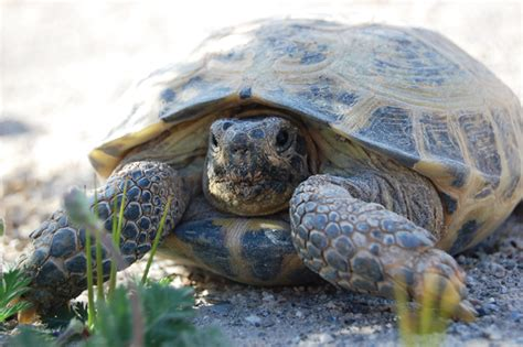 7 Tips On Caring For A Russian Tortoise by Russian Tortoise Care Tips