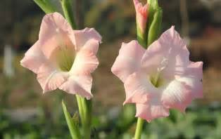 gladiolus flowers flower picture gladiolus picture