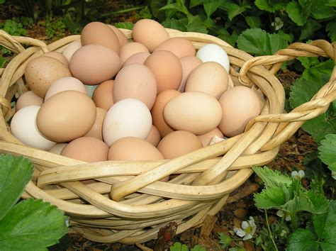 What Is The Shelf Of Fresh Eggs by What You Might Not About Fresh Chicken Eggs Theprepperproject