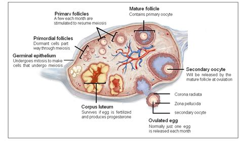 ovaries diagram image gallery ovary diagram