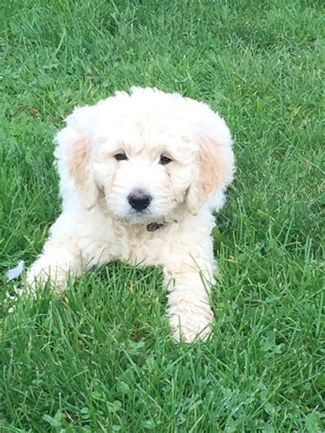 goldendoodle puppy health goldendoodle f1b puppies health tested parents wymondham