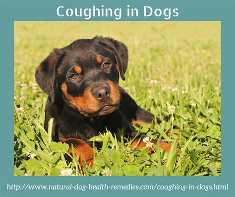 pug cough remedy causes of coughing in dogs use remedies to alleviate the symptom