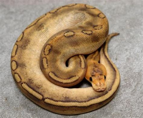 ball python heat l baby ball pythons care