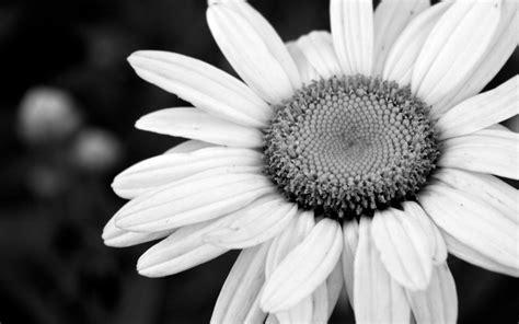 black and white flower background black and white flower wallpaper backgrounds for desktop
