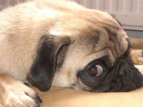about pug pug about pugs breeds picture