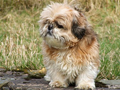 how to shih tzu not to bark barking shih tzu 1001doggy