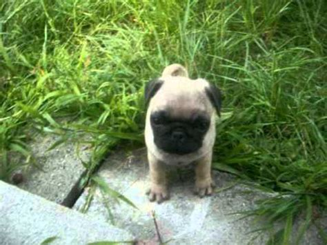 how much does a baby pug cost stitch pug puppy 8 weeks vid 2 pug