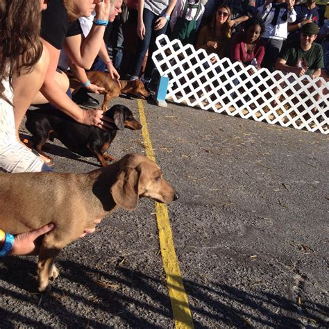 wiener races it s oktoberfest which means time for wiener races port city daily