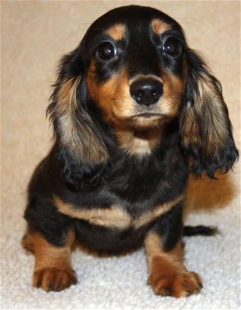 dachshund puppies missouri dachshund weatherlys miniature dachshunds missouri breeds picture