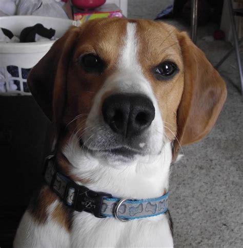 bagel puppy bagel beagle