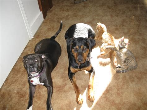 A pitbull mix and a doberman/rott next to two baby kittens that were saved from a garbage bag