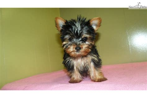 teacup yorkies for sale 500 dollars terrier yorkie puppy for sale near jersey new jersey 930247a4 a561