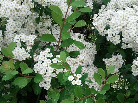 shrub with white flowers what the heck is this robert pogson