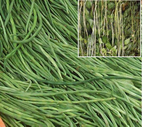 Benih Kacang Panjang Yang Baik budidaya kacang panjang tanam sayuran