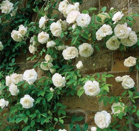 Bibit Bunga Mawar Rambat tanaman white climbing mawar rambat putih jual