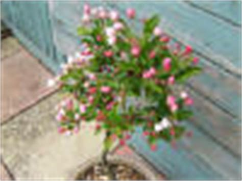 Admiration Tree ornamental trees for sale malus and sorbus to buy