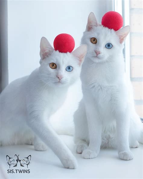 twin cats two cats with stunning heterochromatic eyes are called the