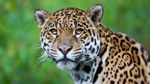 Where Does The Word Jaguar Come From 125 Animals