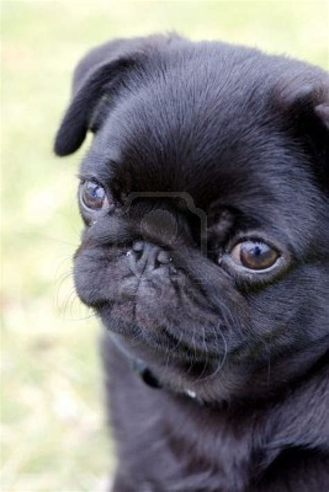 black baby pug puppies looks like my smudge