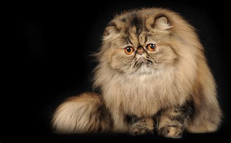 gatti persiani allevamenti gatti persiani allevamento toltechi persians dal 1989