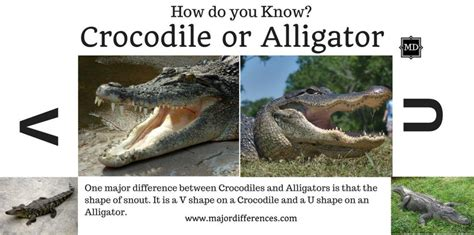 the difference between alligators and crocodiles 10 differences between crocodile and alligator crocodile vs alligator md