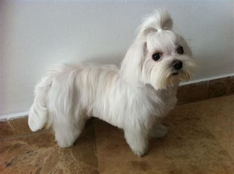 Different Maltese Haircuts | yorkie maltese dog haircuts hairstylegalleries com