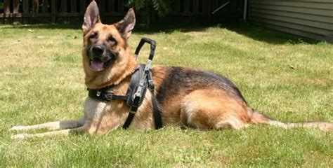 how to your to be a service animal how to your service gsd service tips shepped