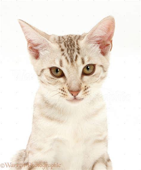 Ocicat kitten photo WP40502