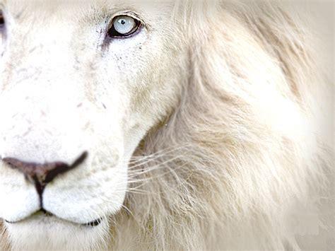 Throw Cushions For Decor Home Quot Le Lion Blanc Quot By Hannahrain Redbubble