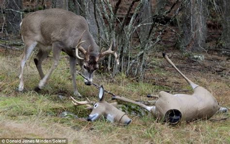 fake deer buckalike a proud stag meets an artificial rival and won t give up until it s crushed daily