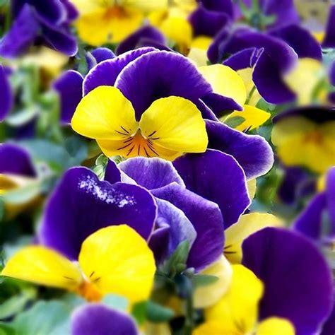 foto di fiori viole fiori primavera fiori per cerimonie fiori di primavera