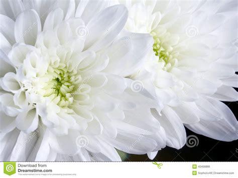 imagenes de gladiolas blancas ci 233 rrese encima de las flores blancas del crisantemo foto