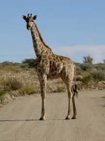 girafe giraffa camelopardalis mammif 232 re ongul 233