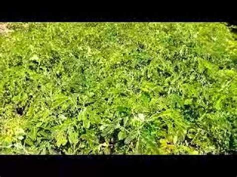 Jual Bibit Gurame Bekasi Gratis jual bibit pohon trembesi di jakarta hub 08121605732