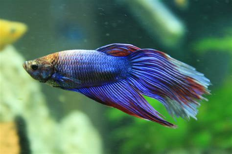 how to take care of a betta fish