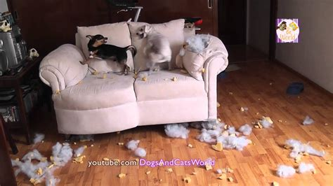 omg  rescued dogs fighting  chewing   couch