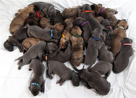 largest litter of puppies two canines give birth to litter of 27 puppies daily mail