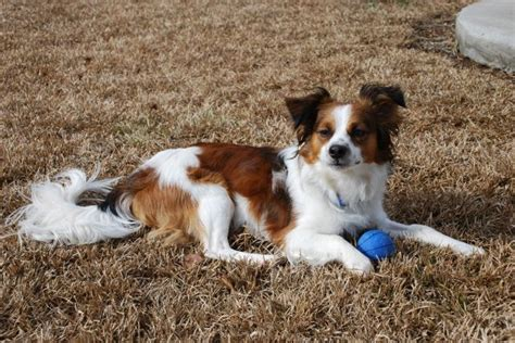 cavalier mix puppies cava lon cavalier king charles and papillon mix pictures and information
