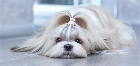 shih tzu coat care play bark run everything about dogs