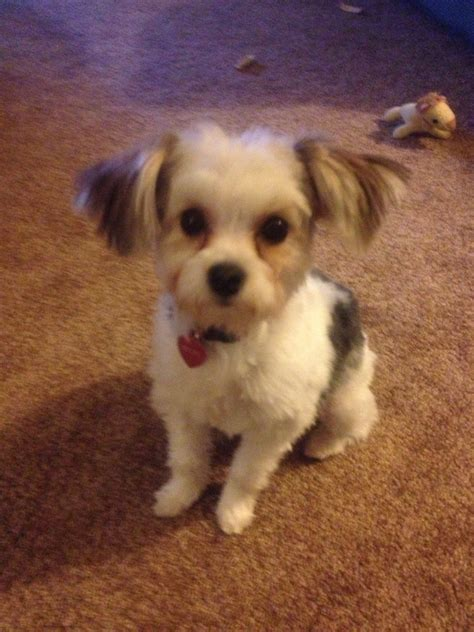 Hair Styles For A Morkie Hairstylegalleries Com | image gallery morkie hairstyles