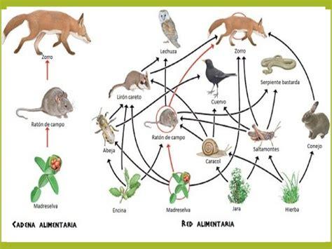 cadenas alimentarias de animales cadenas alimenticias