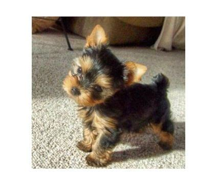 teacup yorkie puppies colorado top 25 ideas about my puppies on teacup yorkie puppys and colorado