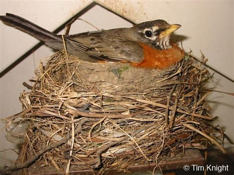 american robin nest wildlife web